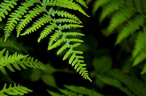 Amazon Rainforest「Filicopsida or Fern fronds」:スマホ壁紙(2)