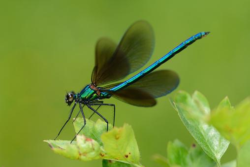 とんぼ「Male Beautiful Demoiselle on a leaf」:スマホ壁紙(6)