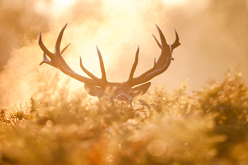 Animals Hunting「Red deer (Cervus elaphus)」:スマホ壁紙(8)