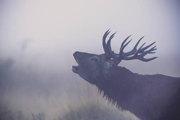 Red deer (Cervus elaphus):スマホ壁紙(壁紙.com)