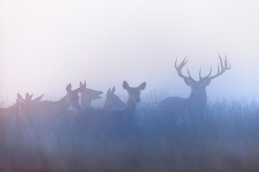 Rutting「Red deer (Cervus elaphus)」:スマホ壁紙(5)