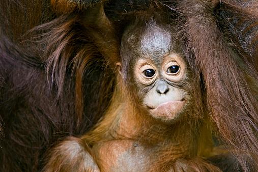 野生動物「Baby Orangutan facial expression」:スマホ壁紙(17)