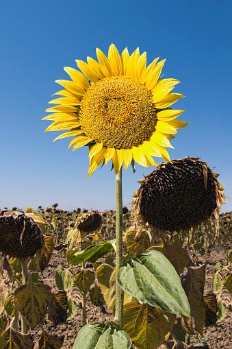 ひまわり「Sunflower growing in field of dead flowers」:スマホ壁紙(2)