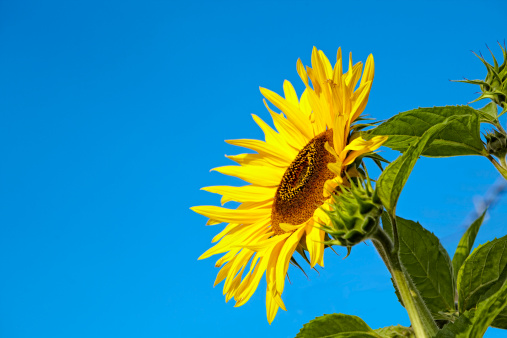 ひまわり「sunflower grows in sunshine with blue sky 」:スマホ壁紙(17)