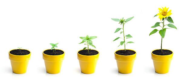 Sunflower Growth:スマホ壁紙(壁紙.com)
