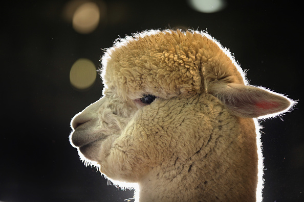 Waiting「Alpacas Are Prepared For The Annual British Alpaca Show」:写真・画像(9)[壁紙.com]