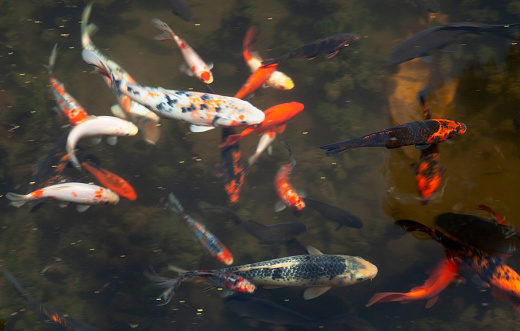 Carp「Colorful Koi in a pond in a city park」:スマホ壁紙(12)