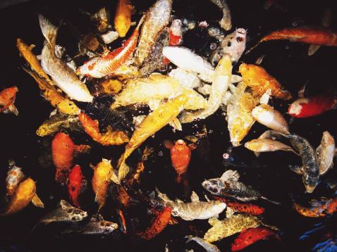 Carp「Colorful Koi fish in pond」:スマホ壁紙(7)
