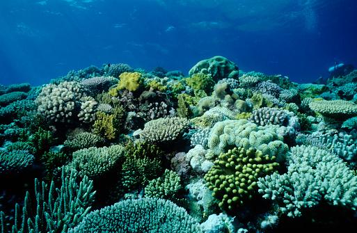 サンゴ「コーラルの庭園」:スマホ壁紙(11)