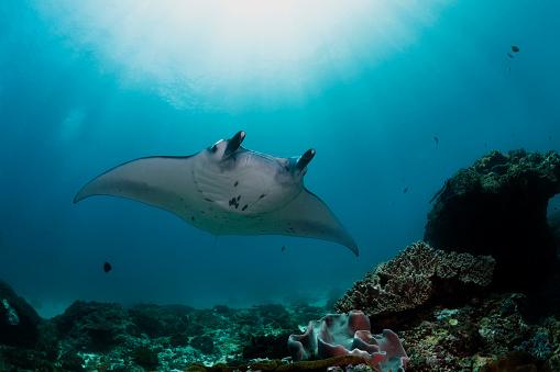 Manta「Indonesia, Bali, Nusa Lembongan, Reef manta ray, Manta alfredi」:スマホ壁紙(18)