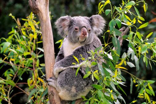 Koala「Koalas」:スマホ壁紙(13)