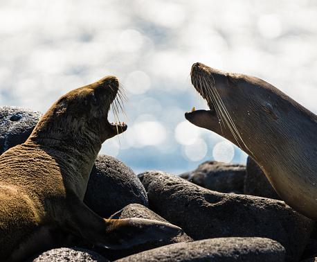 Sea Lion「Two Roaring Galapagos Sea Lions」:スマホ壁紙(4)