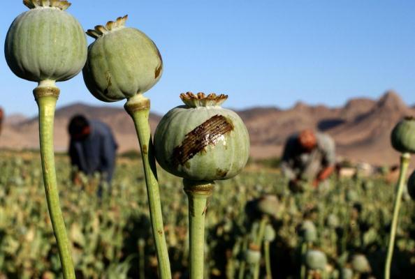 Agricultural Field「Kandahar Poppies」:写真・画像(2)[壁紙.com]