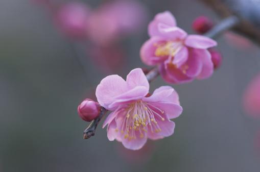 梅の花「Japan, Saitama Prefecture, Kawaguchi, Japanese Plum, close-up」:スマホ壁紙(1)