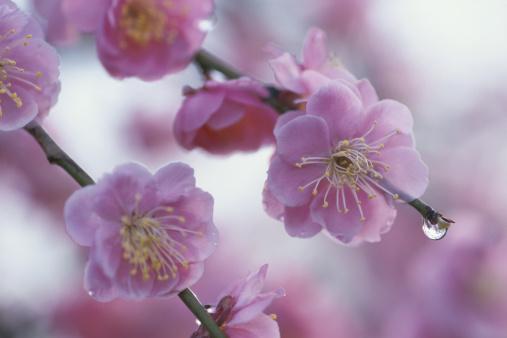 梅の花「Japan, Saitama Prefecture, Kawaguchi, Japanese Plum, close-up」:スマホ壁紙(16)