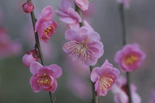 梅の花「Japan, Saitama Prefecture, Kawaguchi, Japanese Plum flowers, close-up」:スマホ壁紙(0)