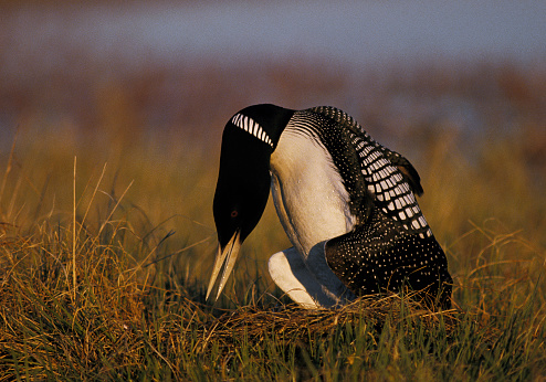 Arctic National Wildlife Refuge「Yellow-billed loon (Gavia adamsii) turning eggs in nest」:スマホ壁紙(0)