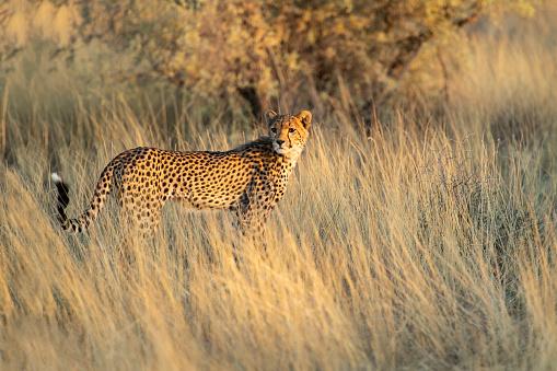 Animals Hunting「Young cheetah on the hunt in the Kalahari」:スマホ壁紙(2)