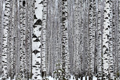 Birch Tree「Birch Wood」:スマホ壁紙(9)