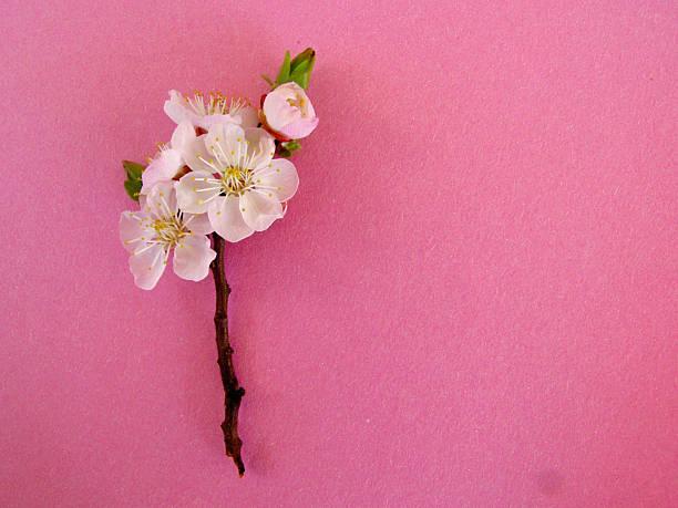 Almond blossom on pink background:スマホ壁紙(壁紙.com)