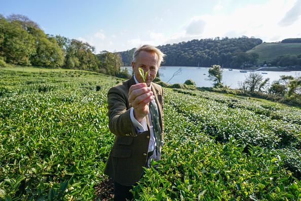 Agriculture「First October Harvest At Darjeeling-Style Tea Plantation In Cornwall」:写真・画像(11)[壁紙.com]