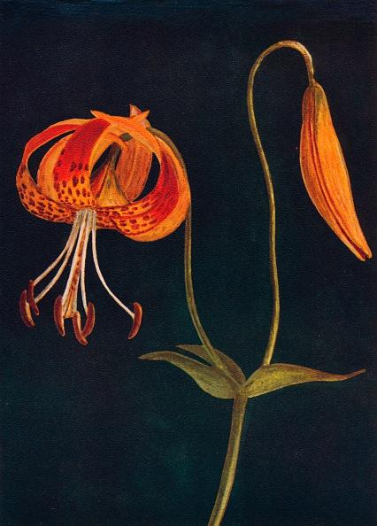 Stamen「Leopard Lily,  c1915, (1915)」:写真・画像(7)[壁紙.com]
