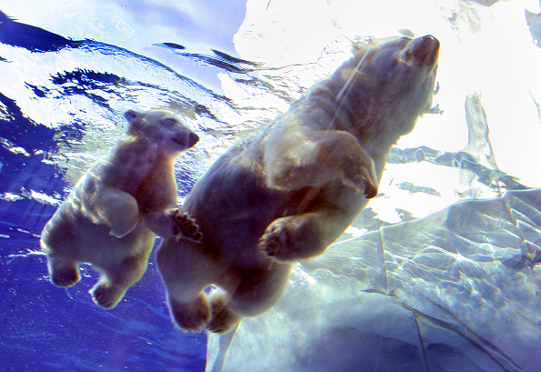 Polar Bear「Polar Bear Cub Learns To Swim」:写真・画像(13)[壁紙.com]