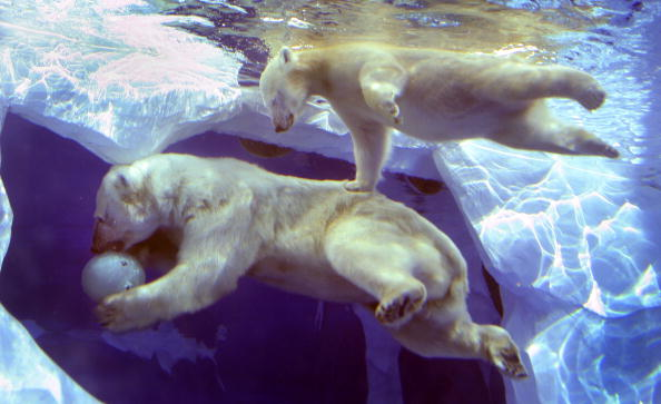 Polar Bear「Polar Bear Cub Learns To Swim」:写真・画像(12)[壁紙.com]