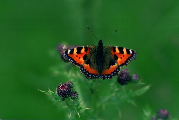 繊細「Tortoiseshell Butterfly,United Kingdom」:写真・画像(18)[壁紙.com]