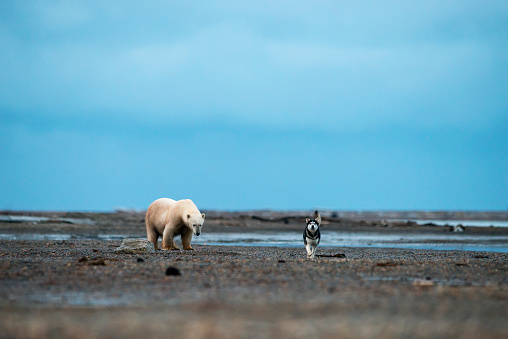 Kaktovik「Sledge dog walking in front of a polar bear; Kaktovik, Alaska, United States of America」:スマホ壁紙(13)