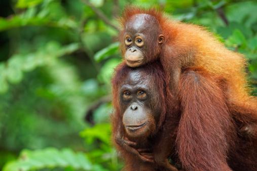 Baby animal「Bornean Orangutan femalecarrying her son」:スマホ壁紙(17)