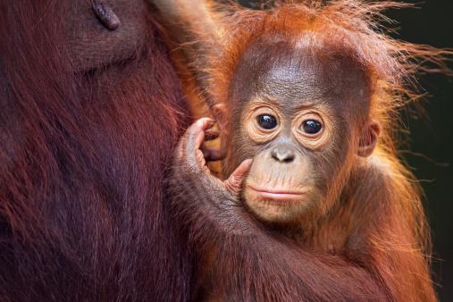 Baby animal「Bornean Orangutan male baby portrait」:スマホ壁紙(8)