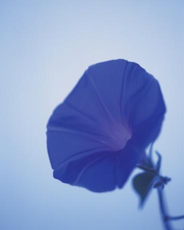 朝顔「Head of blue morning glory, front view, blue background, differential focus」:スマホ壁紙(3)