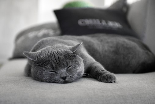 Cat「Scottish straight cat sleeping」:スマホ壁紙(1)