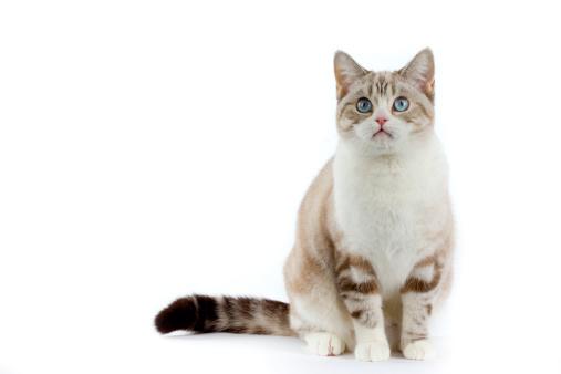 Cat「Scottish straight」:スマホ壁紙(7)