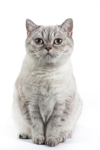 Cat「Scottish straight」:スマホ壁紙(8)