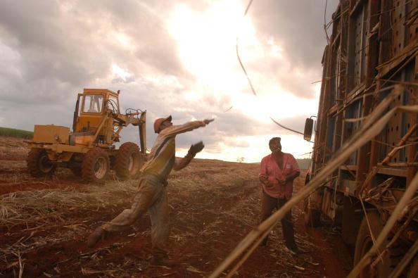 Sugar Cane「Day Labourer Harvest Sugar Canes」:写真・画像(7)[壁紙.com]