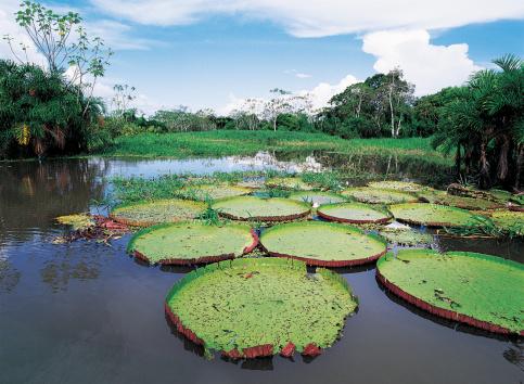 Water Lily「Victoria Lillies, Manaus, Brazil」:スマホ壁紙(10)