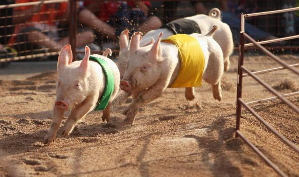 Pig「2009 Sydney Royal Easter Show」:写真・画像(17)[壁紙.com]