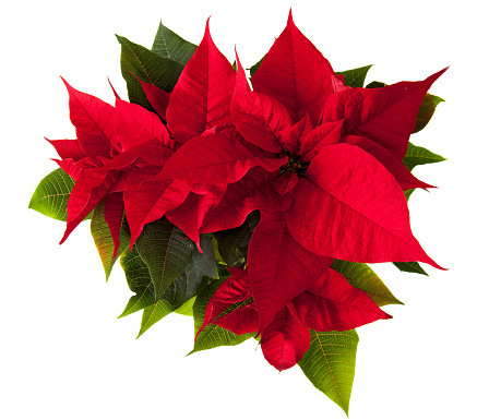 Christmas Decoration「Poinsettia Flower」:スマホ壁紙(18)