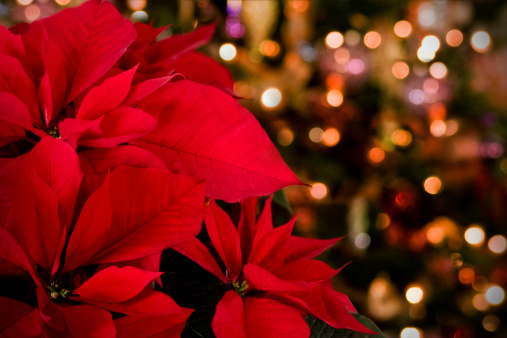 Poinsettia「Poinsettia & Christmas Lights Background」:スマホ壁紙(9)