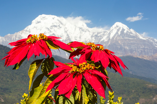 Annapurna Range「Poinsettia trees flowering in the Himalayas near Pokhara, Nepal, with Annapurna South.」:スマホ壁紙(12)
