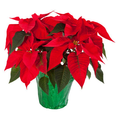 Poinsettia「Poinsettia Isolated on White」:スマホ壁紙(15)