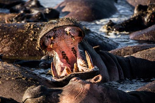 カバ「Open-mouthed hippo」:スマホ壁紙(8)