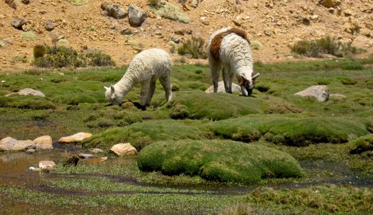 Vicuna「Lama flock (Peru)」:スマホ壁紙(18)