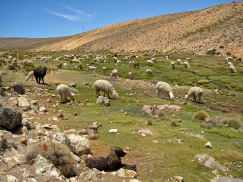 Alpaca「Lama flock (Peru)」:スマホ壁紙(8)