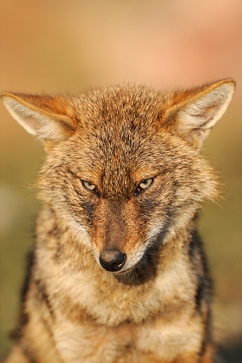 Rajasthan「Golden jackal (Canis aureus) at Keoladeo Ghana National Park, India」:スマホ壁紙(9)