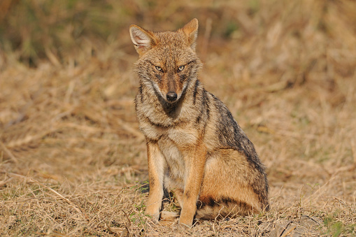 Rajasthan「Golden jackal (Canis aureus) at Keoladeo Ghana National Park, India」:スマホ壁紙(14)