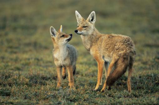 Timothy Grass「Golden jackal and young (Canis aureus)」:スマホ壁紙(16)
