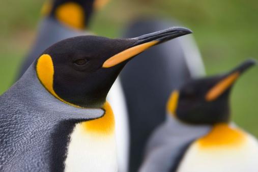 Falkland Islands「King penguins」:スマホ壁紙(13)